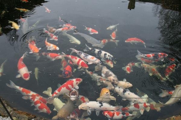 koi carp in garden pond