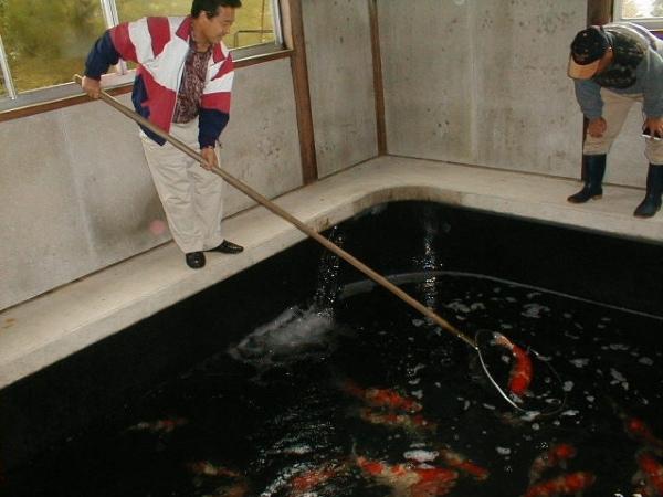 koi fish selection